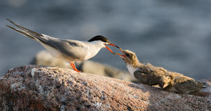 Parental care. The Common Tern (Sterna hirundo) is a seabird of the tern family Sternidae. This bird has a circumpolar distribution breeding in temperate and Royalty Free Stock Image