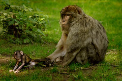 Parental Control. Female Barbary Macaque monkey restraining her youngster. These monlkies are native to Algeria and Morocco Royalty Free Stock Photos