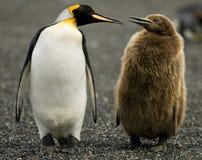 Parenting do pinguim fotografia de stock