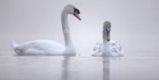 Parenting - swans. Parenting concept depicted by a pair of swans, adult swan looking down at signet on a mist covered lake Stock Photos