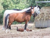 Parents des chevaux de fils photos libres de droits