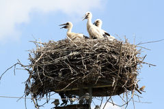 Parents and their fledglings wildlife. Large nest of baby storks Stock Photo