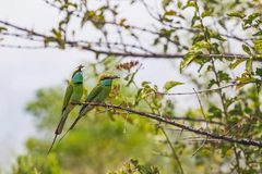 Parents of two birds caught the food in the beaks. Birds parents on a branch, in their beaks held insects for their chicks, in national park Udawalawe Sri Lanka stock photography