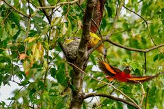 Parents of young birds cooperate to remove feces. When Grey-chinned Minivet males and females co-cultivate chicks, they constantly feed and clean their feces.The stock photos