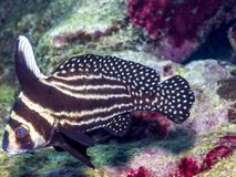 Pareques acuminatus,the high-hat, cubbyu, streaked ribbonfish or. Striped drum on coral reef Stock Image