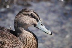 Parera (Grey Duck) Royalty Free Stock Photos