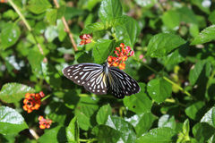 Pareronia SSP Πεταλούδα Στοκ Εικόνες