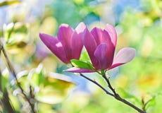 Pares abloom cor-de-rosa de flor da magnólia Imagens de Stock