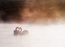 Pares acoplados de cisnes no lago nevoento imagens de stock