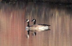 Pares acoplados de gansos de Canadá na lagoa Imagens de Stock