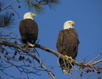 Pares adultos del águila calva Fotografía de archivo