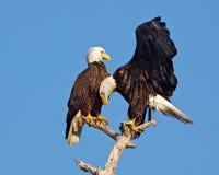 Pares adultos del águila calva en árbol foto de archivo