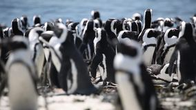 Pares africanos del pingüino almacen de video