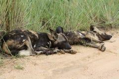 Pares africanos do cão selvagem que estabelecem Foto de Stock Royalty Free