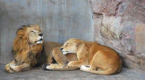 pares africanos do leão Imagem de Stock Royalty Free