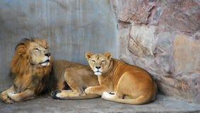 pares africanos do leão Imagens de Stock