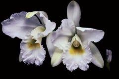 Pares agradáveis das orquídeas brancas foto de stock