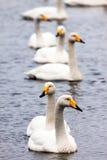 Pares alineados de los cisnes Fotos de archivo