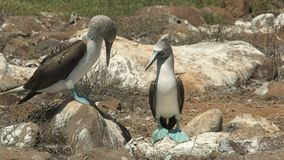 Pares azul-footed de cortejo do peito nas ilhas de Galalagos, Equador video estoque