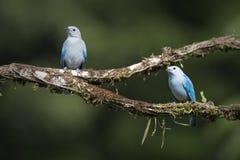 pares Azul-grises de los Tanagers Foto de archivo