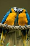 Pares azules del Macaw del oro Imagen de archivo libre de regalías