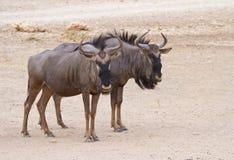 Pares azules del Wildebeest en el Kalahari Fotografía de archivo