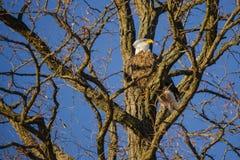 Pares Bald Eagles en el árbol desnudo del invierno que hace frente al sol poniente Fotografía de archivo