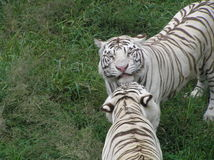 Pares blancos de los tigres fotos de archivo libres de regalías