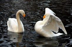 Pares blancos del cisne Fotografía de archivo