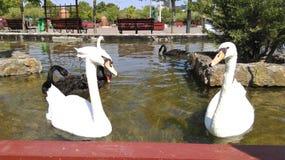Pares blancos del cisne Imagen de archivo libre de regalías