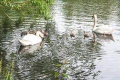 Pares blancos del cisne con los pollos del cisne Imagen de archivo libre de regalías