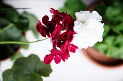 Pares blancos y rojos, geranio de hiedra español con las flores rojas del escarlata y geranio común del blanco, geranio Peltatum, fotos de archivo