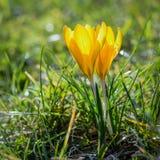 Pares bonitos de açafrões amarelos Imagem de Stock