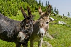 Pares bonitos de asnos em montanhas de Carpathians Fotos de Stock Royalty Free