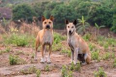 Pares bonitos e espertos do cão Imagem de Stock