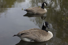 Pares canadienses del ganso Imagen de archivo