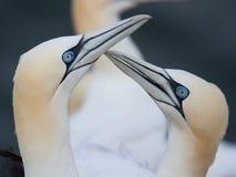 Pares cariñosos de gannets Fotografía de archivo