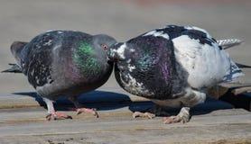 Pares cariñosos de pájaros palomas Fotografía de archivo