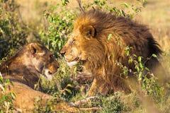 Pares cariñosos Leones en la sabana Masai Mara Fotos de archivo libres de regalías