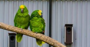 Pares cercanos de dos loros del Amazonas junto en una rama, el un Amazonas azul coronado y un afrontado amarillo, pájaros tropica imagen de archivo libre de regalías
