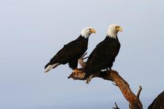 Pares da águia calva Fotografia de Stock