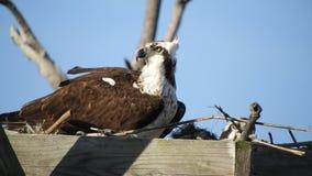Pares da águia pescadora no ninho vídeos de arquivo