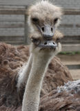 Pares da avestruz Fotografia de Stock Royalty Free
