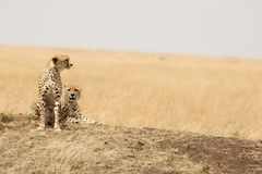 Pares da chita no Masai Mara Foto de Stock Royalty Free