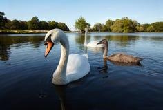 Pares da cisne branca com nestling imagem de stock