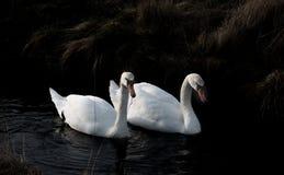 Pares da cisne que procuram pelo alimento fotos de stock