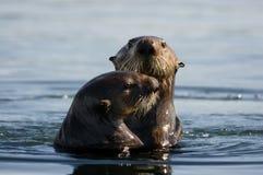 Pares da lontra de mar Imagens de Stock Royalty Free