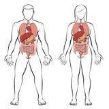 Pares da mulher do homem dos órgãos internos do trato digestivo ilustração do vetor