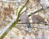 Pares da pomba que sentam-se em uma árvore com neve Fotos de Stock Royalty Free