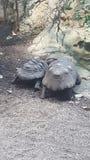 Pares da tartaruga Imagem de Stock